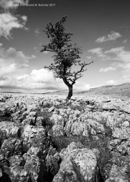 Limestone Pavement and Tree at Conistone, Wharfedale, Yorkshire