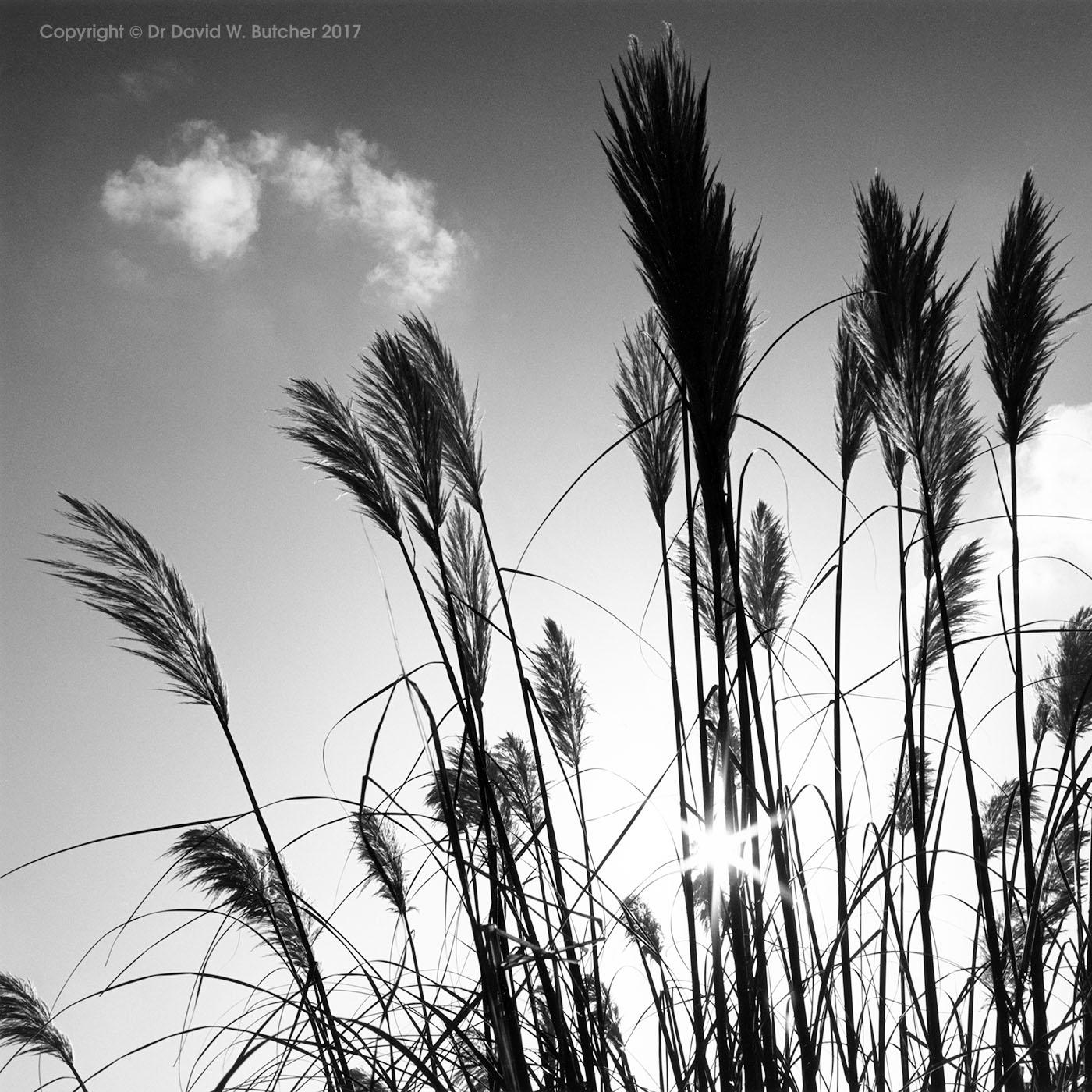 Pampas Grass, Tunstead Milton, Peak District